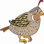 Coloring Pages  Quail Black  Quail Family Coloring Page